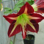 Фото 55: Цветок гиппеаструм