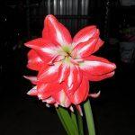 Фото 56: Цветы гиппеаструм