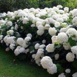 Фото 20: Белые гортензии