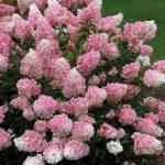 Фото 10: Ванилла Фрейз гортензия розовая