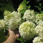 Фото 61: Гортензия бобо - цветок