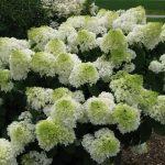 Фото 53: Гортензия садовая белая