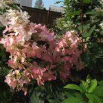 Фото 46: Гортензия садовая