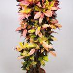 Фото 31: Кротон цветок