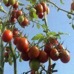 Фото 20: Розовый изюм томат