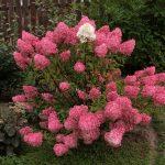 Фото 71: Садовая гортензия цветок
