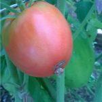 Фото 23: Томат розовый изюм