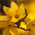 Фото 45: Форзиция жёлтый цветок