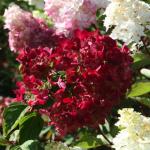 Фото 73: Цветок гортензия