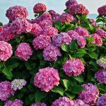 Фото 59: Цветы гортензии садовая