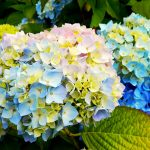Фото 60: Цветы гортензии садовой