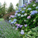 Фото 63: Цветы гортензия фото