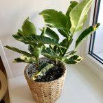 Как ухаживать, разводить дома цветок кротон
