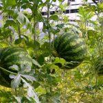 Фото 38: Арбуз растение