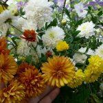 Фото 2: Дубки хризантемы