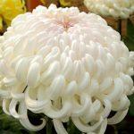 Фото 6: Корейская хризантема