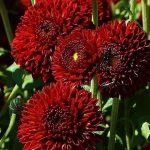Фото 7: Красная хризантема