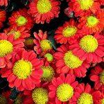 Фото 8: Красные харизантемы