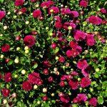 Фото 9: Кустовая хризантема - цветок