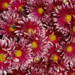 Фото 15: Многолетняя садовая хризантема