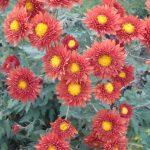 Фото 17: Осенняя хризантема