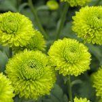 Фото 18: Помпонные хризантемы