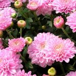Фото 20: Розовая хризантема
