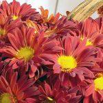 Фото 22: Садовая хризантема цветок