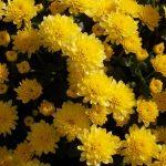 Фото 25: Садовые жёлтые хризантемы