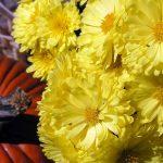 Фото 26: Садовые хризантемы жёлтые
