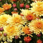 Фото 28: Садовые цветы хризантемы