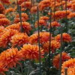 Фото 38: Хризантема садовая цветы