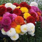 Фото 41: Хризантема цветок
