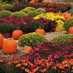 Фото 44: Хризантемы кусты