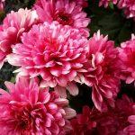 Фото 47: Хризантемы садовые