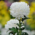 Фото 48: Цветок белый