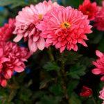 Фото 50: Цветы многолетние